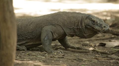 L'attacco del drago di Komodo