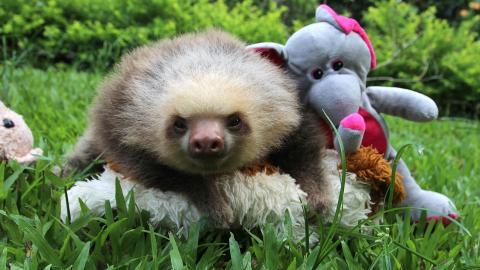 """CuccioliMania - Cuccioli di panda, di bradipi, gattini, cagnolini, piccoli orango: fai un pieno di dolcezza con questi video. Ti sfidiamo a non esclamare """"AAAWW!"""""""
